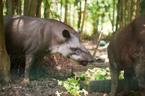 The Tapir shares the food with the monkeys