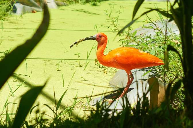 We see the scarlet ibis on the river every day